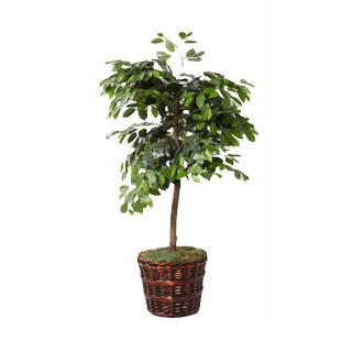 4' Ficus Tree MIS011480